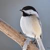 DSC_0876 Black-capped Chickadee Feb 18 2017