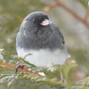 DSC_0888 Dark-eyed Junco Feb 18 2017