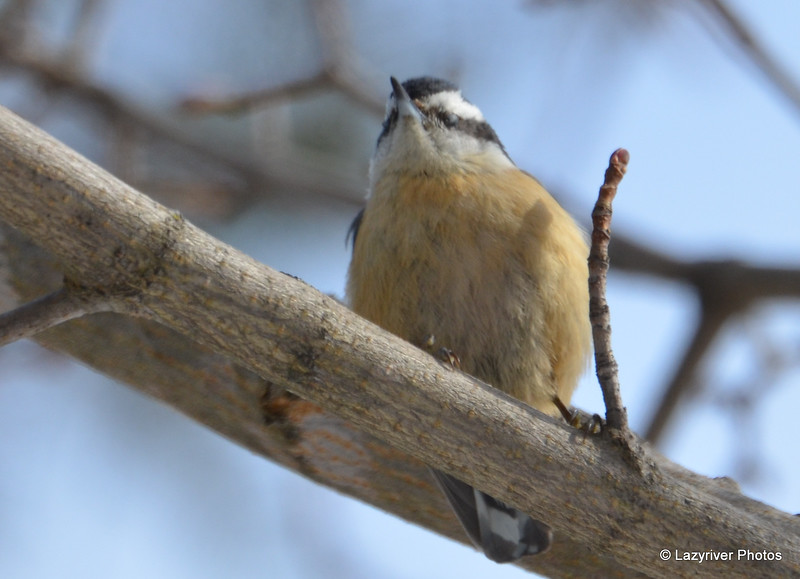 DSC_0882 Red-breasted Nuthatch Feb 18 2017
