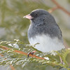 DSC_0887 Dark-eyed Junco Feb 18 2017
