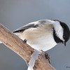 DSC_0879 Black-capped Chickadee Feb 18 2017