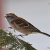 DSC_0852 American Tree Sparrow Feb 18 2017
