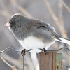 DSC_0893 Dark-eyed Junco Feb 18 2017