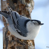 DSC_0857 White-breasted Nuthatch Feb 18 2017