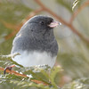 DSC_0885 Dark-eyed Junco Feb 18 2017