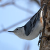 DSC_0861 White-breasted Nuthatch Feb 18 2017