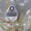 DSC_0896 Dark-eyed Junco Feb 18 2017