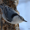 DSC_0858 White-breasted Nuthatch Feb 18 2017