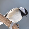 DSC_0877 Black-capped Chickadee Feb 18 2017