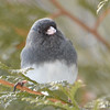 DSC_0886 Dark-eyed Junco Feb 18 2017
