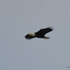 DSC_0287 Bald Eagle Feb 3 2017