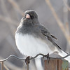 DSC_0892 Dark-eyed Junco Feb 18 2017