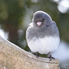 DSC_0873 Dark-eyed Junco Feb 18 2017