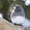 DSC_0875 Dark-eyed Junco Feb 18 2017