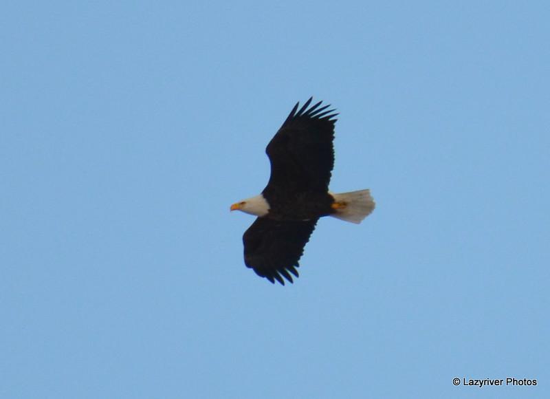 DSC_0290 Bald Eagle Feb 3 2017