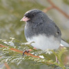 DSC_0889 Dark-eyed Junco Feb 18 2017