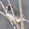 DSC_0883 Dark-eyed Junco Feb 18 2017