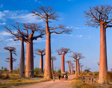 Madascar Baobabs