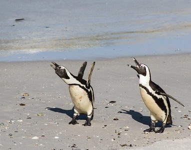 S Africa Penguins-9401