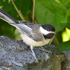 DSC_3987 Black-capped Chickadee July 9 2017