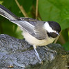DSC_3988 Black-capped Chickadee July 9 2017