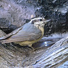 DSC_3235 Red-breasted Nuthatch June 14 2017