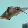 DSC_2370 Ruby-throated Hummingbird May 24 2017