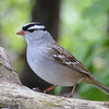 DSC_1502 White-crowned Sparrow May 12 2017