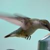 DSC_2371 Ruby-throated Hummingbird May 24 2017