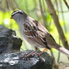 DSC_1511 White-crowned Sparrow May 12 2017