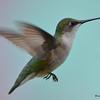 DSC_2369 Ruby-throated Hummingbird May 24 2017