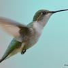 DSC_2308 Ruby-throated Hummingbird May 22 2017