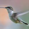 DSC_2376 Ruby-throated Hummingbird May 24 2017