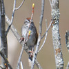 DSC_1703 Swamp Sparrow May 16 2017