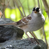 DSC_1513 White-crowned Sparrow May 12 2017
