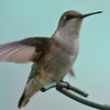 DSC_2372 Ruby-throated Hummingbird May 24 2017