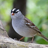 DSC_1503 White-crowned Sparrow May 12 2017