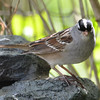 DSC_1512 White-crowned Sparrow May 12 2017