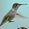 DSC_2305 Ruby-throated Hummingbird May 22 2017