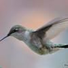 DSC_2378 Ruby-throated Hummingbird May 24 2017