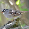 DSC_1545 White-crowned Sparrow May 12 2017