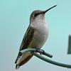DSC_2368 Ruby-throated Hummingbird May 24 2017