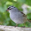DSC_1525 White-crowned Sparrow May 12 2017