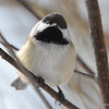 DSC_0881 Black-capped Chickadee Feb 18 2017