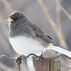 DSC_0891 Dark-eyed Junco Feb 18 2017