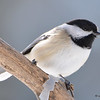 DSC_0878 Black-capped Chickadee Feb 18 2017
