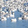 ESC_3836 Snow Geese Nov 15 2017