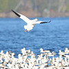 ESC_3878 Snow Geese Nov 15 2017