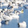 ESC_3837 Snow Geese Nov 15 2017