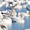 ESC_3838 Snow Geese Nov 15 2017